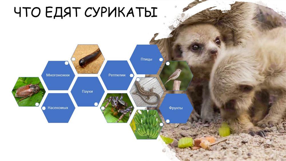 Что едят сурикаты