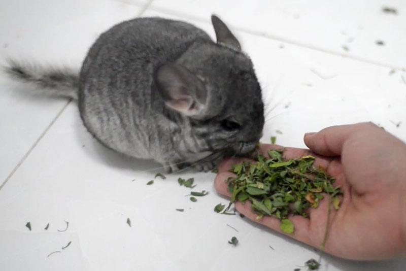Шиншилла ест сухую траву