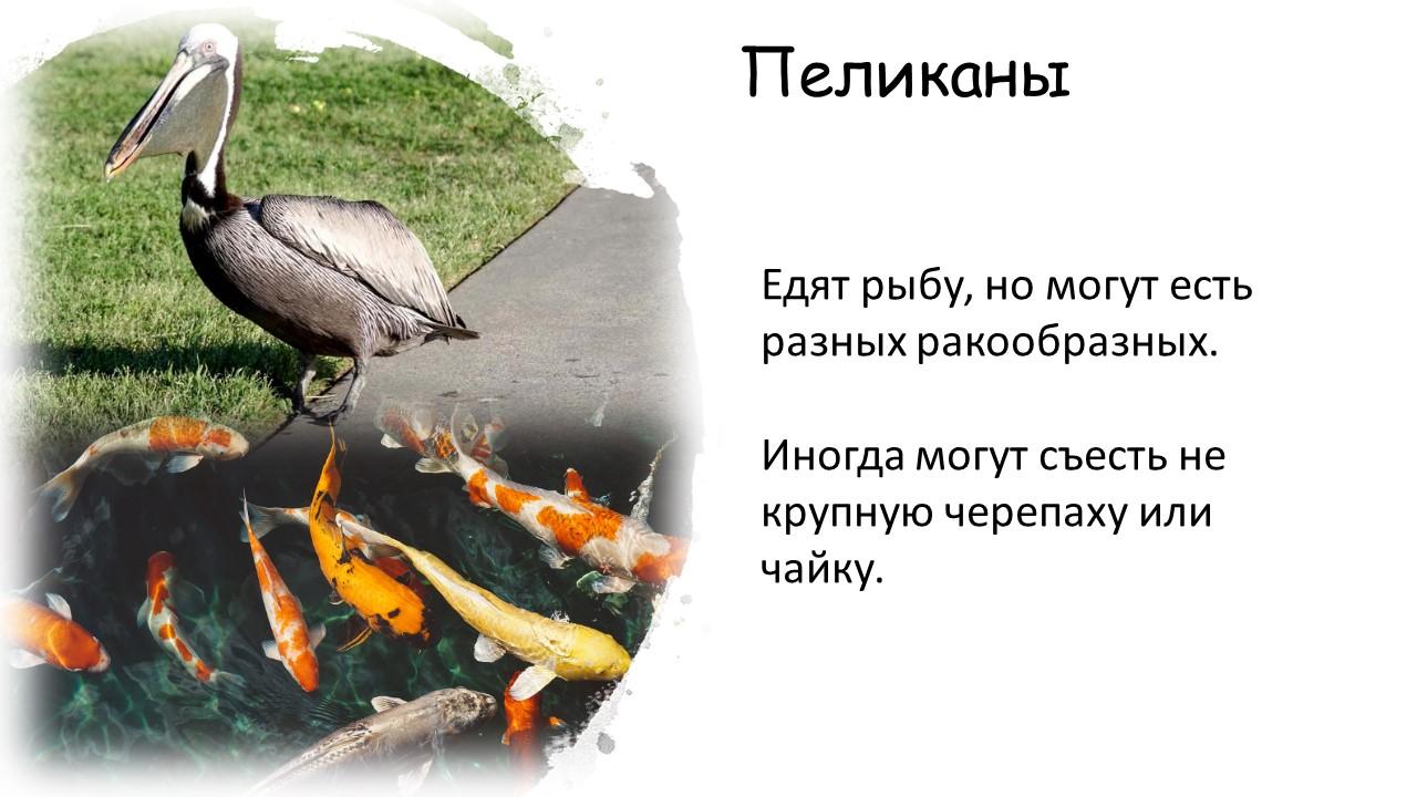 Что едят пеликаны