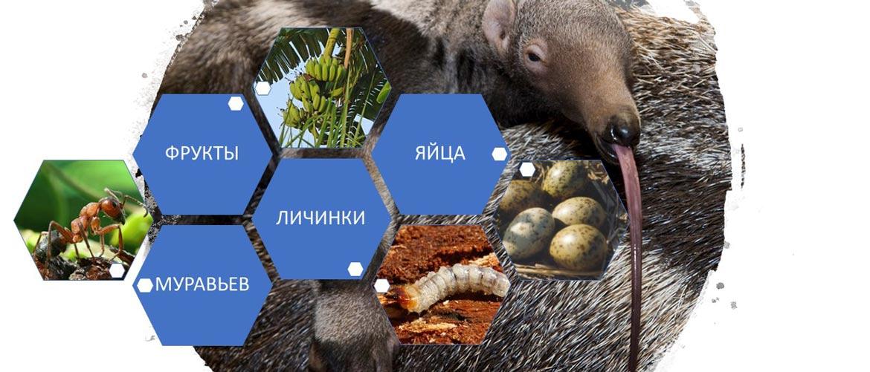 Что едят муравьеды