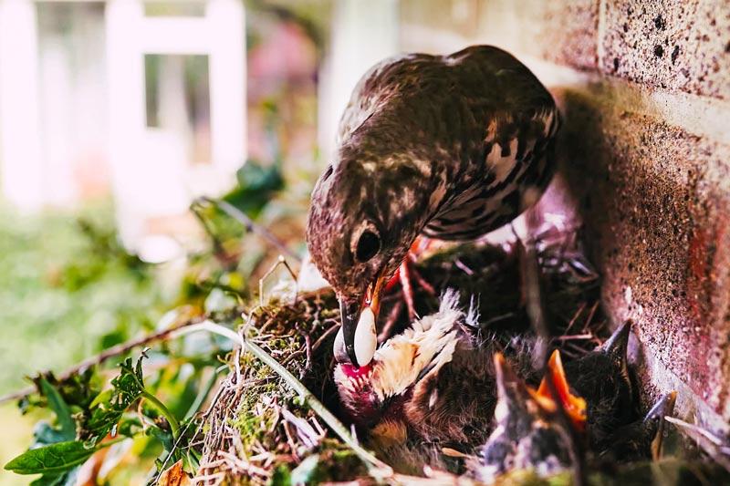 Дрозд кормит птенцов