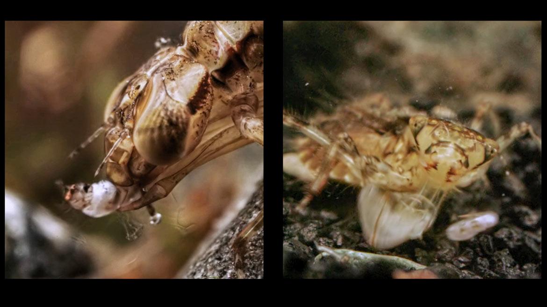 Личинка стрекозы пожирает насекомое