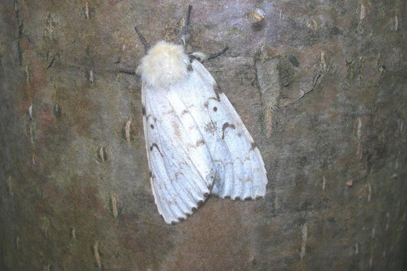 Непарный шелкопряд Lymantria dispar