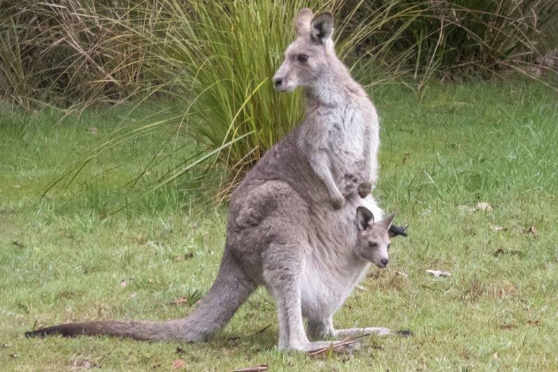 Восточный серый кенгуру