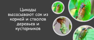 Цикады едят