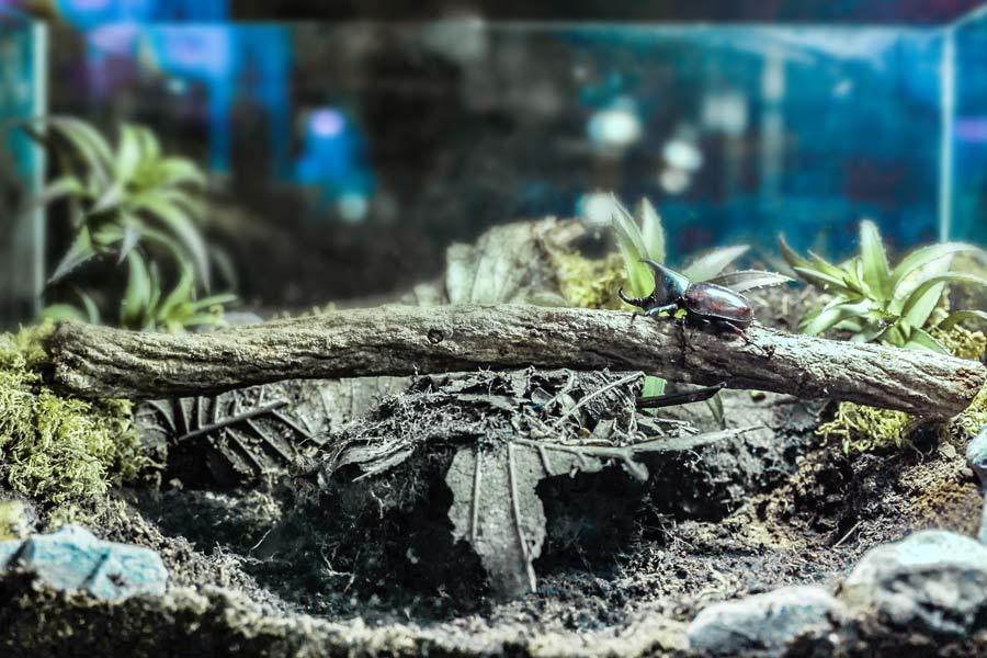 Жук носорог в аквариуме