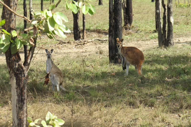 антилоповый кенгуру
