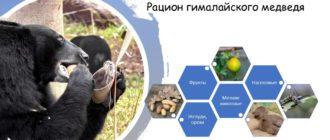 Что ест гималайский медведь