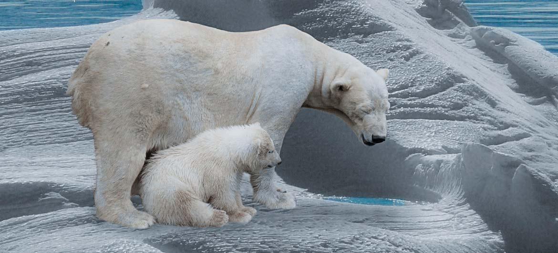 белый медведь с медвежатами