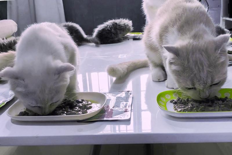 кошки едят влажный корм