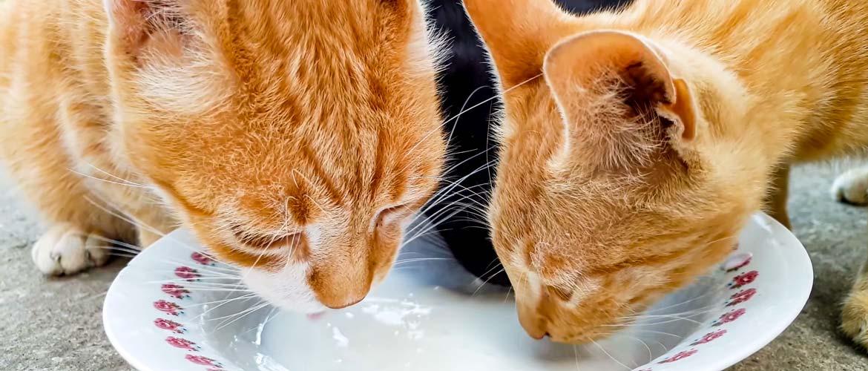 Кошки пьют молоко
