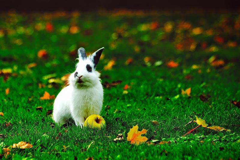 кролик и яблоко на траве