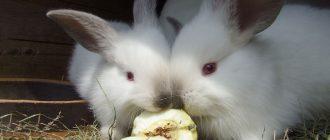 кролики-едят-яблоки