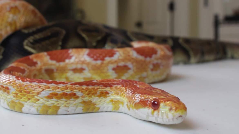 Что ест кукурузная змея?