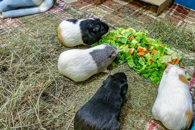 Кормление морских свинок овощами