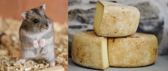 можно ли хомякам сыр