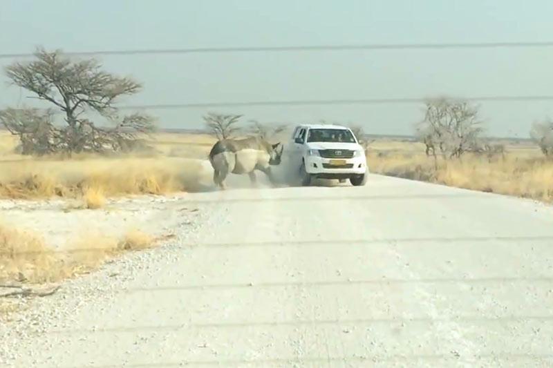 Носорог нападает на автомобиль