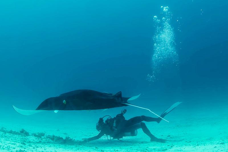 водолазы плавают со скатом