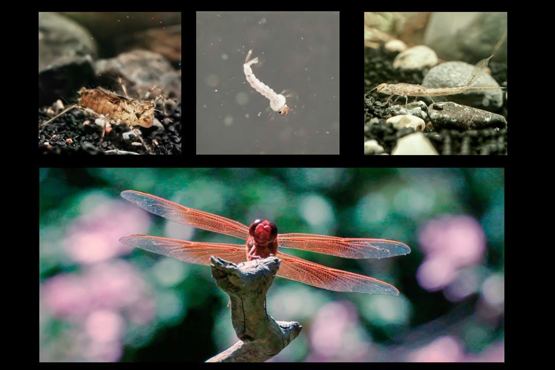 Стадия роста стрекозы от личинки до взрослой особи