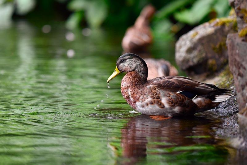 Утка в пруду