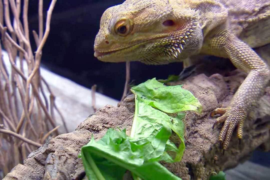 Ящерица ест салат